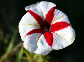 stripedflower