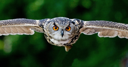 flying-owl_Web